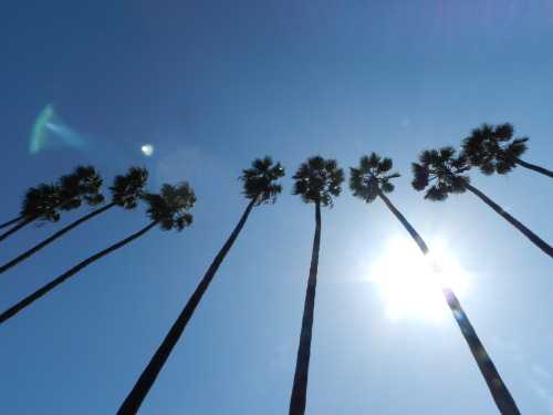blissdaisy:  trees in LA