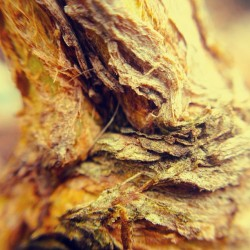 sleonie:  #tulsi#bark#wood#nature #olloclip #macro