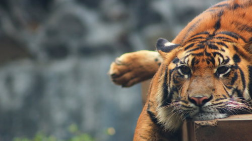 animals-animals-animals:  Tiger (by dhedeee)  Tédio