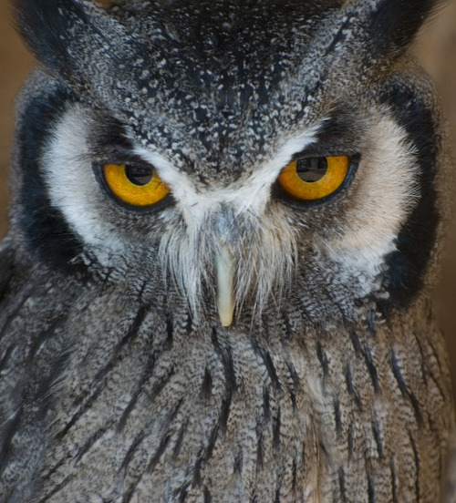 fyowls:  white faced scops owl by Photography By Pixie on Flickr.