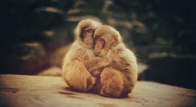 Baby Snow Monkeys, Scared and Hugging (by Stuck in Customs)