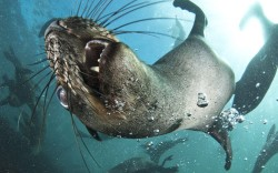 Cape fur seals swim off the coast of Duiker Island, a tiny granite boulder 100 metres offshore in Hout Bay, Cape Town in South Africa Picture: Steve Benjamin/Solent News