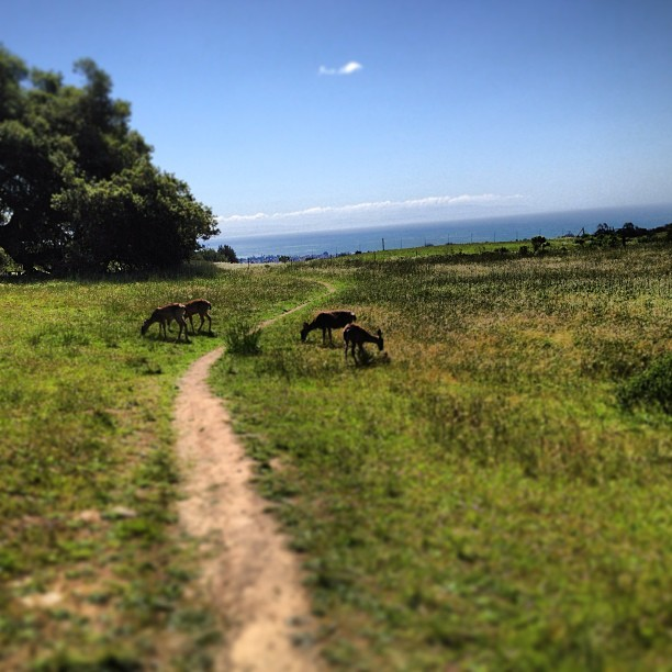 #gorgeous#deer#ucsc#ocean#collegelife