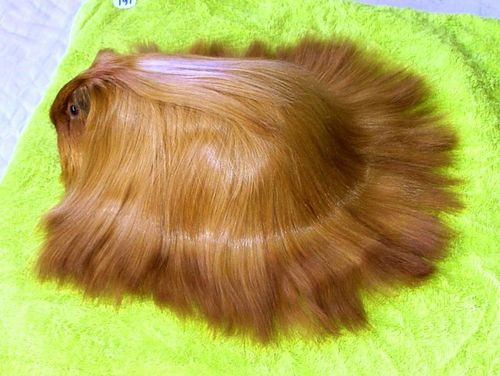 bolloxs:  marvelous   It's a guinea wig