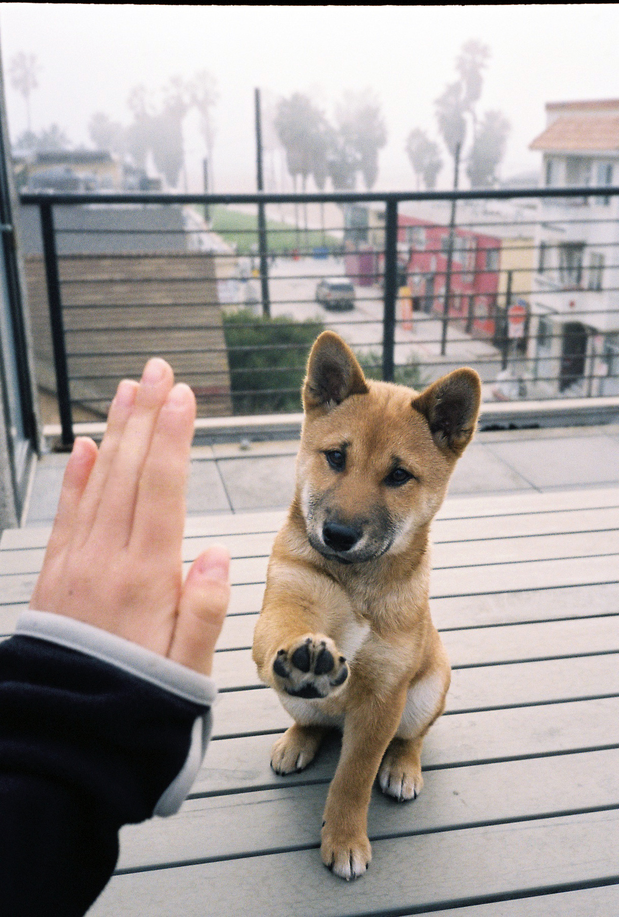 slavetopoetry:  OMG ITS A SHIBA INU! I LOVE THIS BREED! SO CUTE!