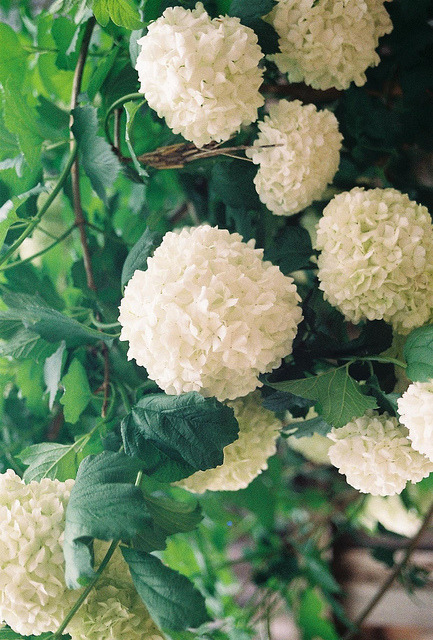 a-lovely-cup-of-jo:  snowball flowers on Flickr.