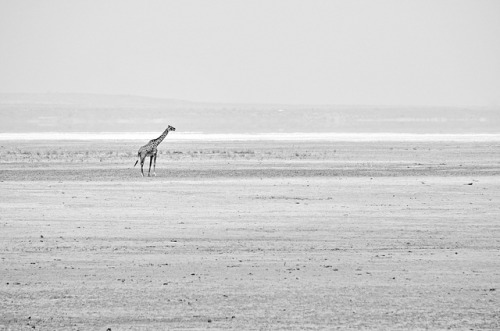 DSC_3730bw Lake Manyara, Tanzania: Giraffe Silhouette by wanderlust  traveler on Flickr.