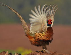fairy-wren:  Ring-Necked Pheasant. Photo by nomoredarkroom