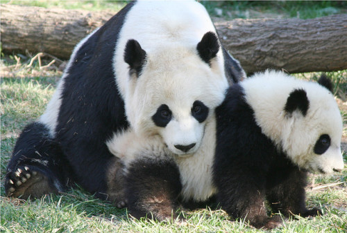 haveueverlovedawoman:  A mother's love by somesai on Flickr. Mei and Tai