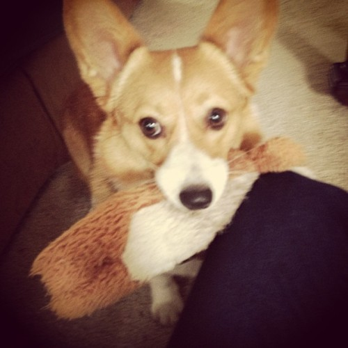 I hate that moose toy….she will squeak it in your face forever!!! #corgi #mylilybelle