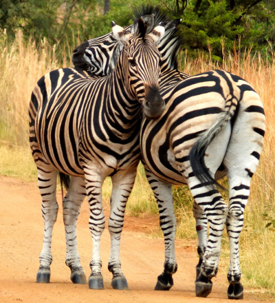 llbwwb:   Burchell's Zebra (by 2mag7- non-stop catching up!)