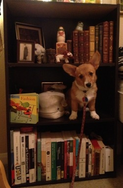 corgiaddict:  Corgi, get down from there! You're not a book. You look ridiculous, corgi.   He wants your attention. And he knows that you pay the most attention to your books