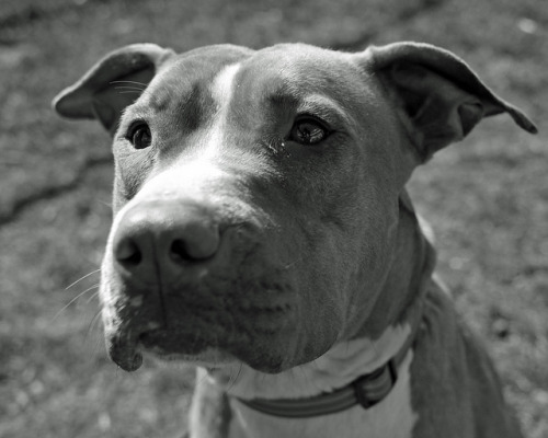 therealpitbull:  Pippa_01 by AbbyB. on Flickr.
