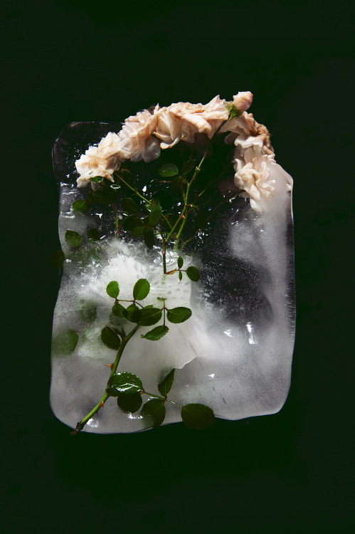 """VIOLENT AND STILL"" Frozen roses #5"
