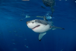 the-shark-blog:  Great White Shark - Carcharodon carcharias by savingoursharks2012
