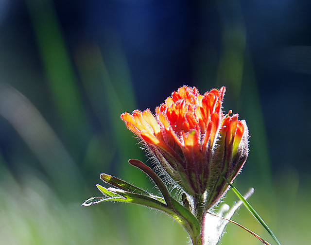 Indian Paintbrush by h_roach on Flickr.