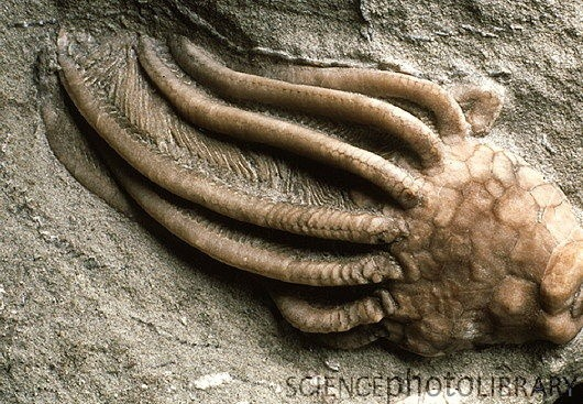 """Fossil crinoid. Close-up of a fossilized crinoid from rocks of the Carboniferous period. The crinoids or sea lilies are primitive marine animals related to starfish and sea urchins. They are usually sessile, attaching themselves to rocks by a stem (broken off in this fossil). The stem is attached to a cup-like body or calyx (at right) which bears a crown of long, feathery arms. The animal used these arms for filtering particles of food from the sea. This crinoid is from rocks of the Carboniferous period, 280-345 million years ago. Only a few crinoid species have survived to the present day with some known to inhabit deep Antarctic waters. Magnification: x1 at 35mm size."""