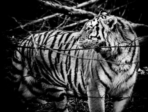 brutalgeneration:  Tigress wondering by The Danish Girl on Flickr.