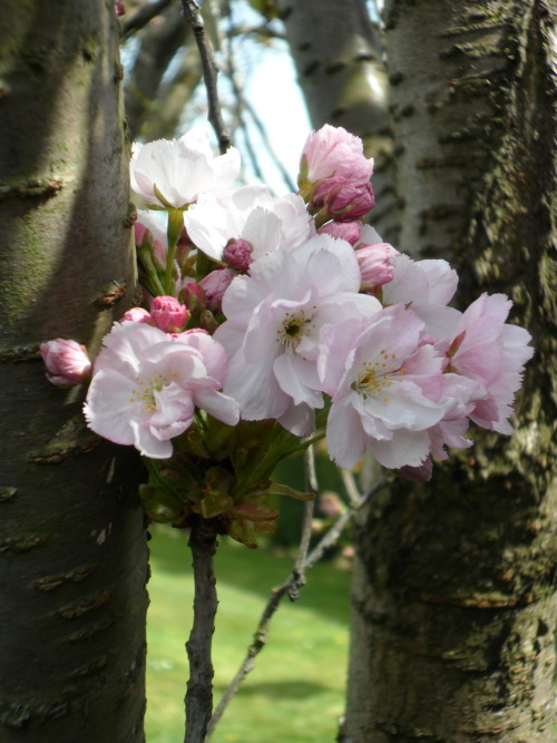 Pink cherry blossom, Aldridge, Walsall, England All Original Photography by http://vwcampervan-aldridge.tumblr.com