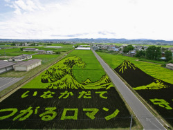 nikolawashere:  Stunning crop art has sprung up across rice fields in Japan. But this is no alien creation - the designs have been cleverly planted. Farmers creating the huge displays use no ink or dye. Instead, different colours of rice plants have been precisely and strategically arranged and grown in the paddy fields.As summer progresses and the plants shoot up, the detailed artwork begins to emerge.