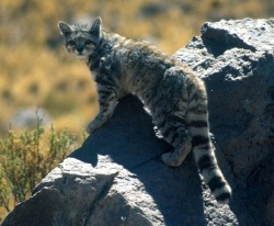 rhamphotheca:   Cats on the Brink - Endangered Felids:  Andean Cat by Jaymi Heimbuch We go to the tiny wild cat that looks like it could be a house cat! This is the Andean Cat, and before 1998, the only evidence scientists had that it existed at all was two photographs. This small mountain cat is so similar in habitat and appearance — preferring high altitudes and its body shape and coloring — that it is considered the tiny version of the snow leopard.  But unlike the snow leopard, there is far less conservation funding to help this cat. The Andean Cat Alliance and the Small Cat Conservation Allianceare the two groups mainly helping this felid species. Fewer than 2,500 are thought to exist today, with a declining population due to a loss of habitat and prey, and due to hunting for traditional ceremonial purposes. (read more: TreeHugger)                       (photo: Jim Sanderson)