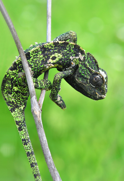 "earth-song:  ""Chamaeleon"" by Mustafa Öztürk"