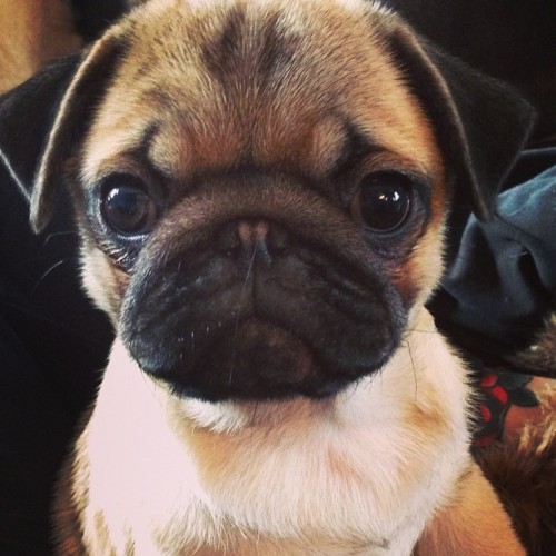 That face! (via pugswhisper)  Fresh pumpkin. #pug #pugstagram