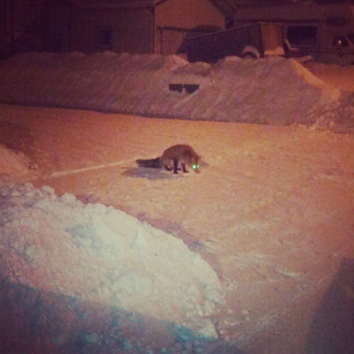 Fox that chilled by my truck last night #truck #snow #fox #animal #yukon