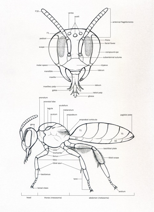 noelbadgespugh:  Bee Morphology . . based on Andrena candida . . ink with labels added in Adobe Illustrator . . illustration for book by researchers at Urban Bee Lab