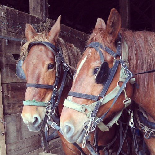 Got to drive these ladies this morning! Rosie and Amber. #horses #farming