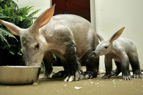 theanimalblog:  Aardvark. Photo by Brookfield Zoo