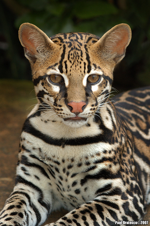 animalkingd0m:  Ocelot by Paul Bratescu