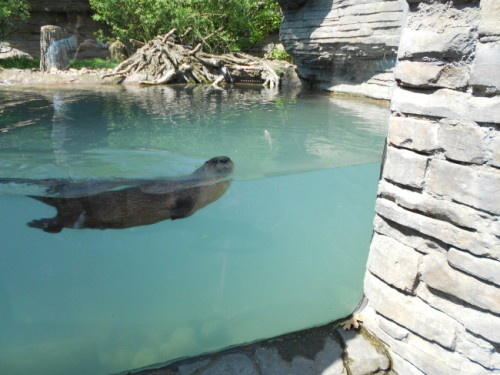 dailyotter:  Otter Looks at the Humans Who Are Looking at Him More at today's Daily Otter post. Thanks, Cameron!