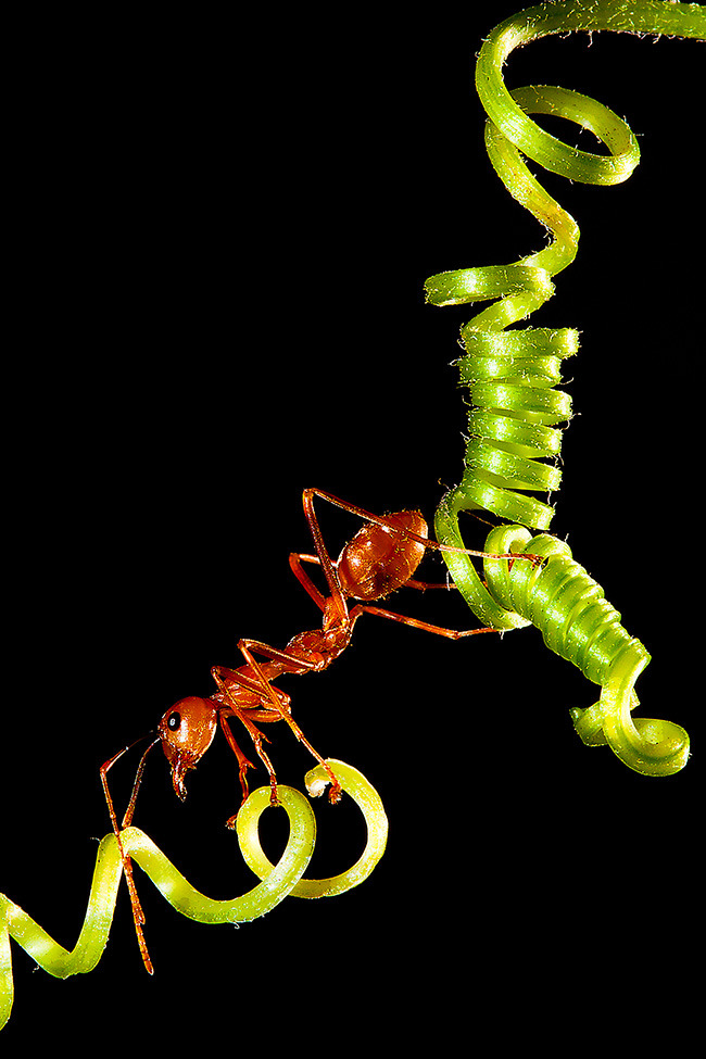 Photo of the Day: A red ant crossing a vine Photo by: Mclloyd Jumpay (Mandaluyong, Philippines); Mandaluyong City, Philippines