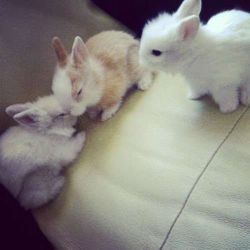 My babies :3 #bunny #bunnies #babybunny #rabbit #bunnyrabbit #furrball #cutestthingever #cute #adorable #innocent #beautiful