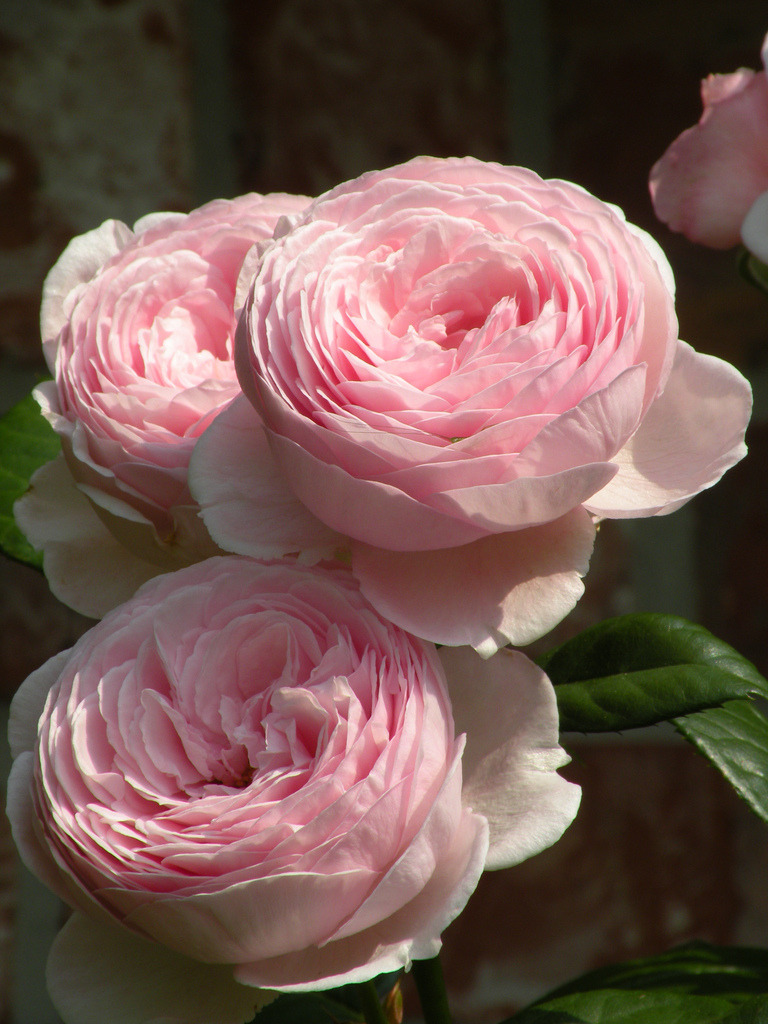prettie-sweet:  English Rose Geoff Hamilton (by cynthsmthrmn)