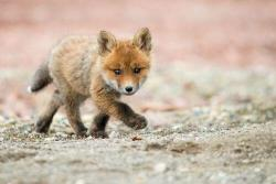 animals cute fox foxes baby animals cute animals cute baby animals Kit Baby fox Kits fox kit baby foxes fox kits