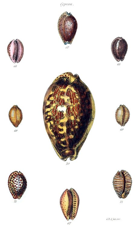 Cypraea.  From The conchological illustrations, by George Brettingham Sowerby, London, 1832.  (Source: archive.org)