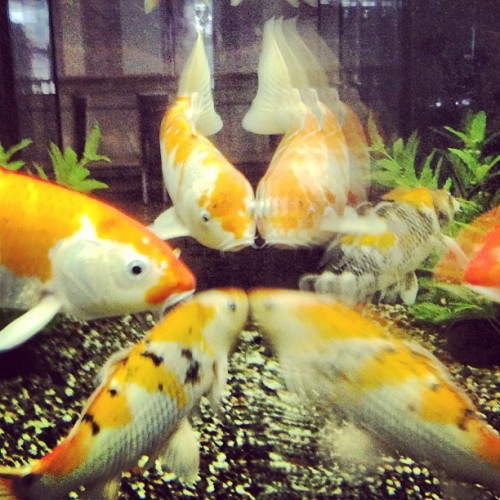#japan #fish #koi #instagood #iphonesia #iphoneonly #instagramhub #instamood #outdoors #beautiful #photooftheday #picoftheday #instadaily #bestoftheday #webstagram #instagramers