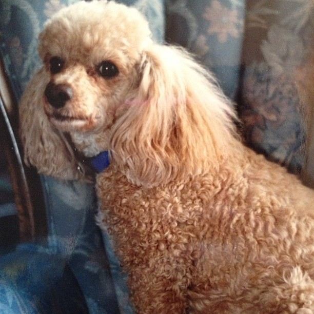 This is Ruby the poodle! I found this photo and it choked me up. I miss her! #RIP