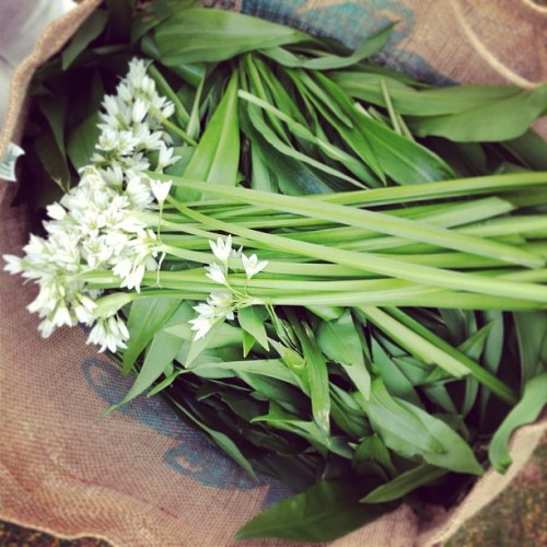 Wild Irish Garlic