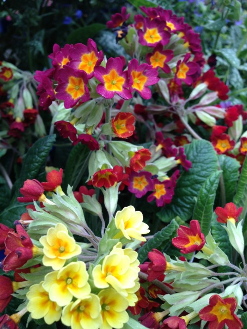 Vivid and quite painterly primrose (?)  ©Brenda L Bazylewski