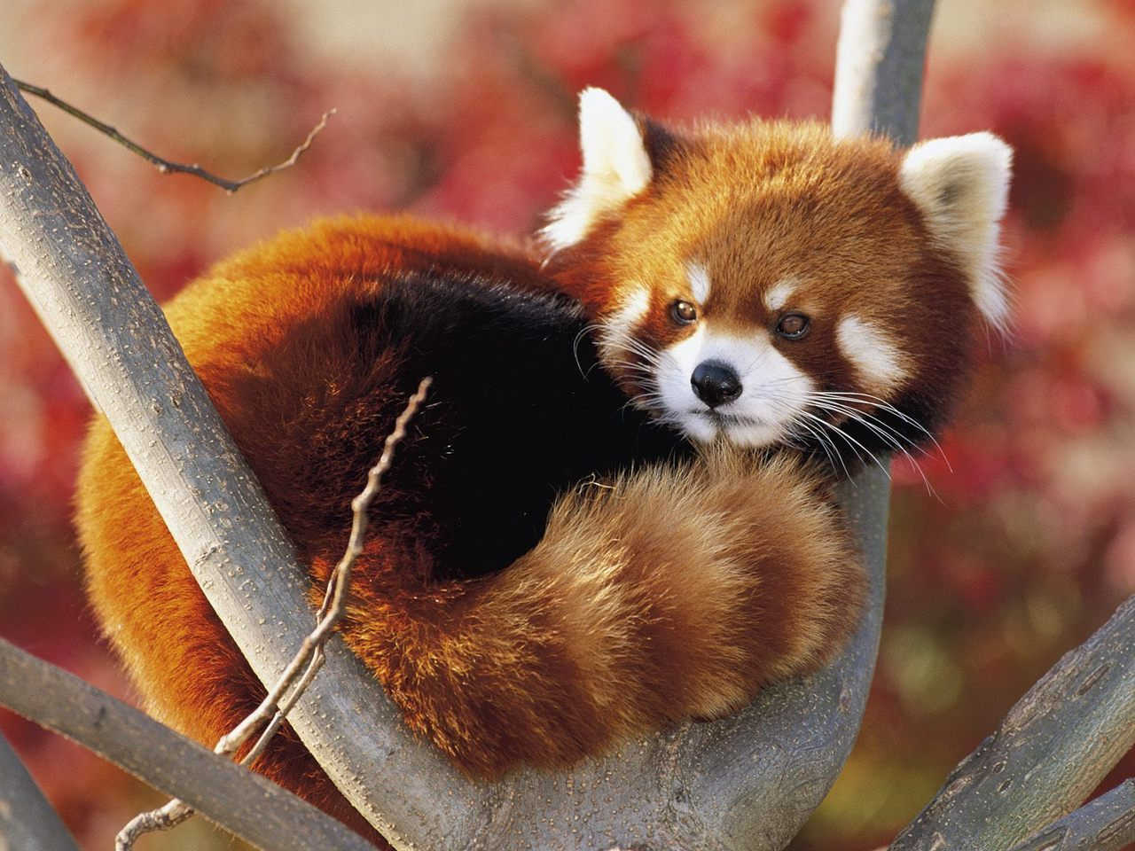 pray-for-a-better-world:  In danger of extinction: Red panda.