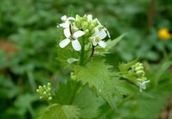 More on Garlic Mustard (Alliaria petiolata) on EOL (photo by Ondřej Zicha [CC BY-NC] via Biolib.cz)