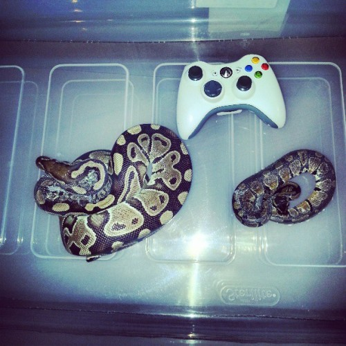 @macc_pro the #two #new #ballpythons the #older #female looks #pastel im not sure and the #baby is #normal in #shed #ballpython #snakes #snakesofinstagram #pythonsofinstagram #reptile #reptilesofinstagram #pet #petsofinstagram #xbox #herpetology #zoology #passion