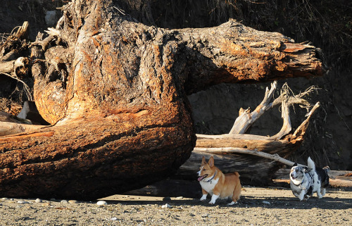 Big driftwood makes short Corgis even shorter. :) (They have a great time playing around them, though… run, Riley, runnn…)