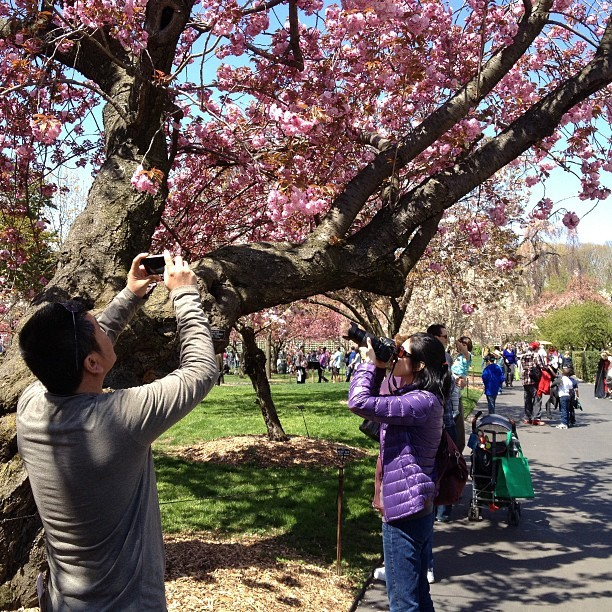 This is the day cherry blossoms take over Instagram. #nature #trees #flowers #nyc #brooklyn  (at Brooklyn Botanic Garden)