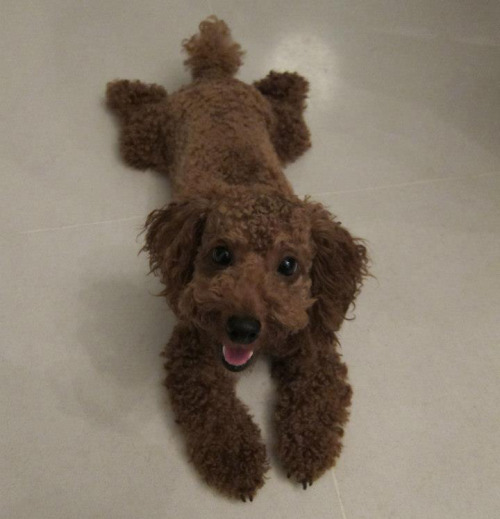 "Plush Toy Turned Out to Be Real Dog When Wendy Holmes brought a stuffed animal home from her local Toys 'R' Us, nothing appeared out of the ordinary. ""It was just a cute stuffed dog,"" Holmes tells The Fluffington Post. ""It was a Christmas present for my daughter."" Later that afternoon, her shopping bags started rustling. ""Turns out it was actually an adorable puppy,"" Holmes explained. ""He must have been sleeping in the bin. Now that I think about it, he did look a little different from the other toys. That must be why I picked him out."" Via cranberryandvodka."