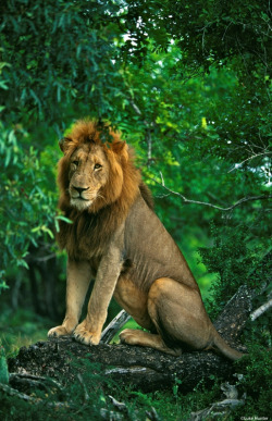 tii-keri:  getawildlife:  Male lion sitting in a tree (by Panthera Cats)  Animal/nature blog :) I follow back all! xx