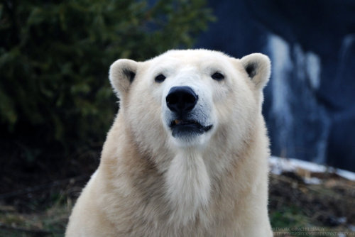 animalfunwithnature:  Polar Bear 1 by *8TwilightAngel8